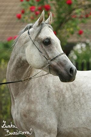 Cinderella Al Shaqab